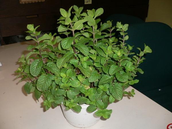 薄荷葉,辦公室植物.JPG