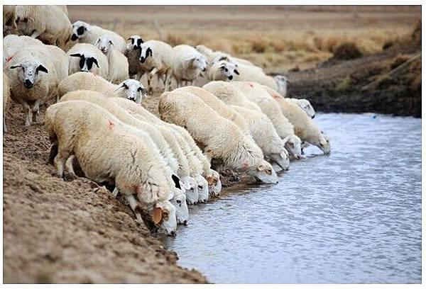 羊喝水.jpg
