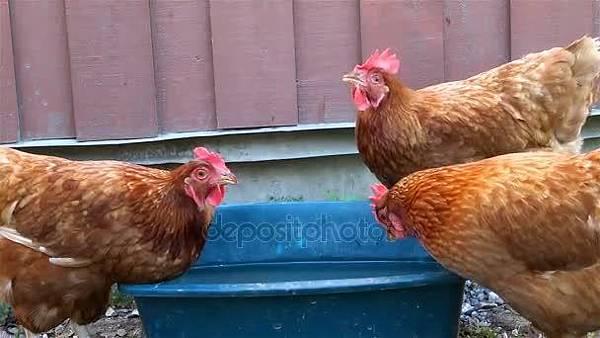雞喝水.jpg