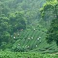 竹山 茶園