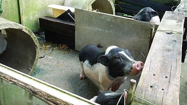 民宿養的小豬們