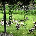 後院有很多鵝