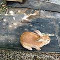 民宿養的小兔子