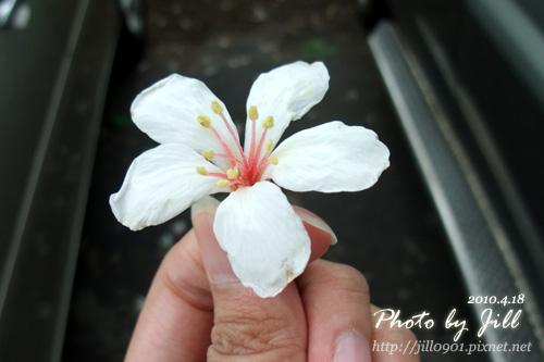 地上撿到的油桐花