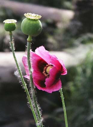 poppyflower.jpg