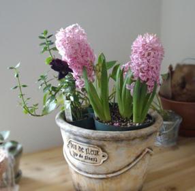 11號的瑰玫改成活的花盆