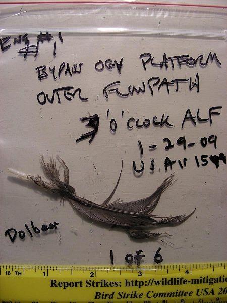450px-USAir_1549_bird_feather.jpg