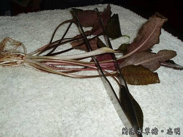 虎斑椒草的花