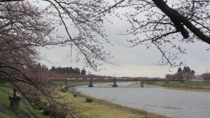應該要開的角館河堤櫻花