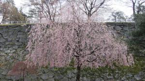 盛岡城跡公園櫻花