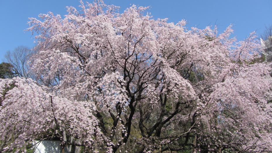 六義園枝垂櫻