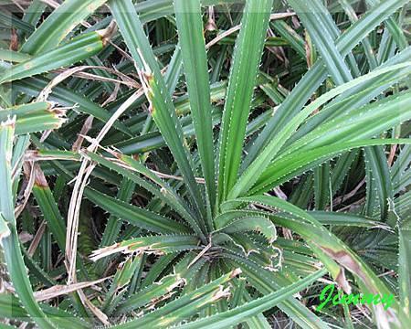 帶刺植物.jpg