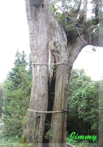巨木中段.jpg