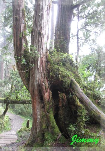 紅檜森林.jpg