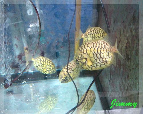 松毬魚.jpg