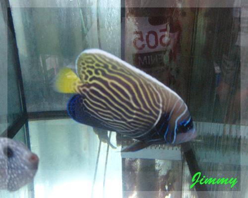 皇后魚.jpg