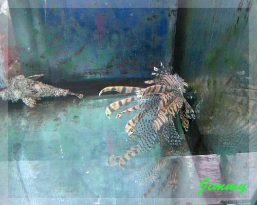獅子魚.jpg