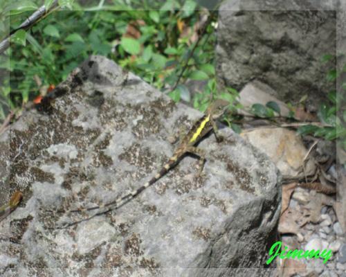 某種蜥蜴.jpg