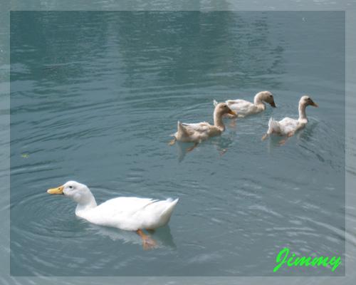 悠閒的鴨子.jpg