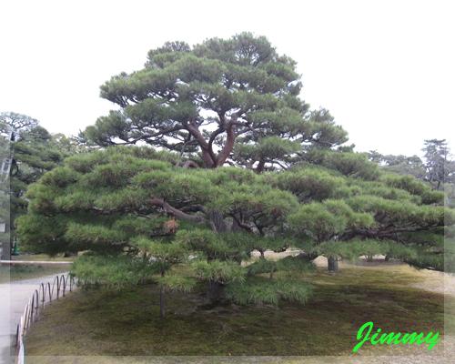 立派松樹.jpg