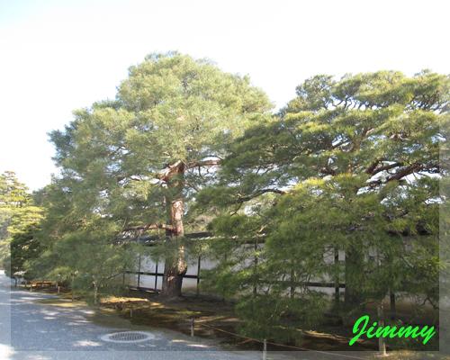漂亮的松樹.jpg