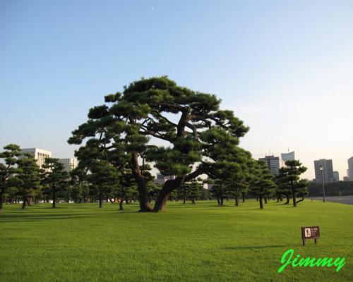 大松樹.jpg