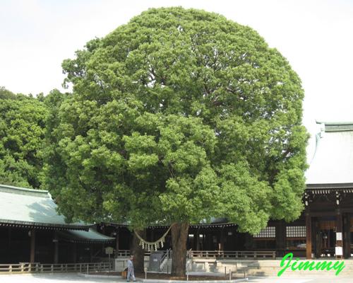 大樹.jpg