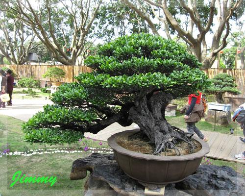 300年象牙樹.jpg