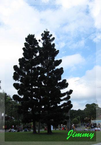 杉木.jpg