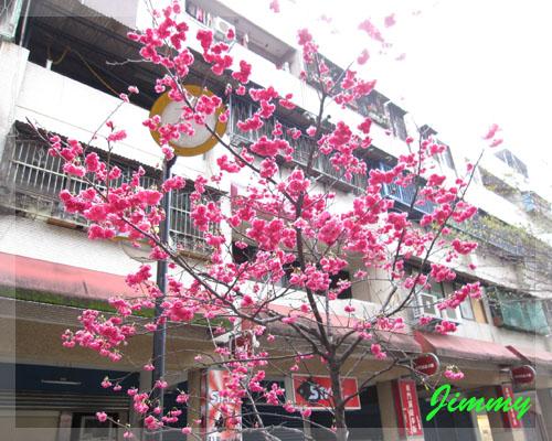 美麗的櫻花.jpg