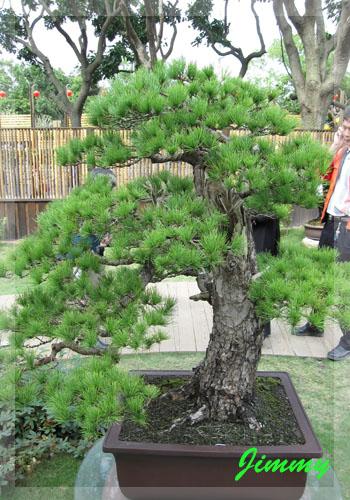 松樹.jpg