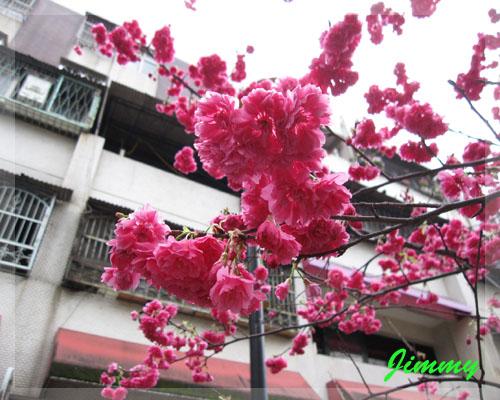 近拍櫻花.jpg