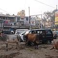 路上都是牛