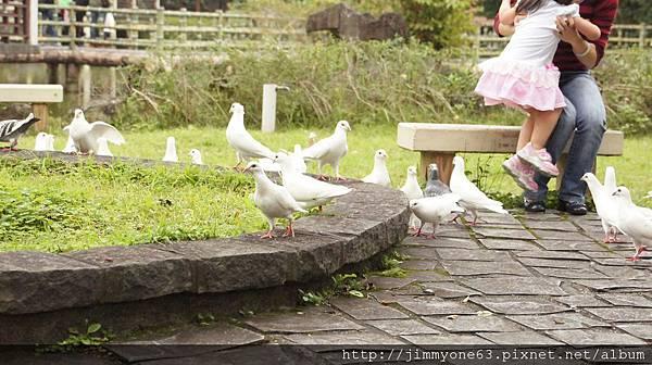 23原來是一群不怕人的鴿子