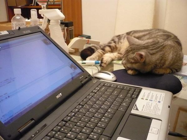 貓在電腦前睡著了