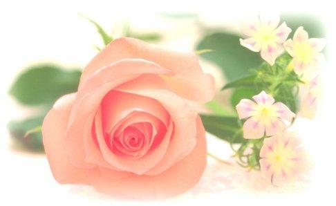 玫瑰葉幹細胞
