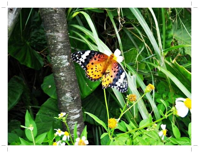 黑端豹斑蝶.JPG