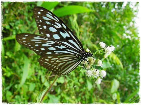 琉球青斑蝶.JPG