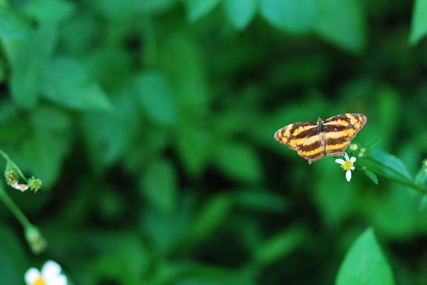 金三線蝶1.JPG