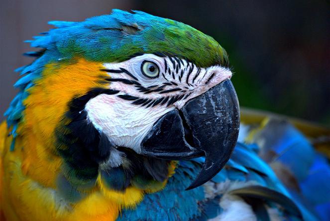 藍黃金剛鸚鵡,又名琉璃金剛鸚鵡