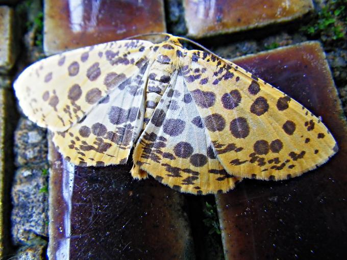大斑豹紋尺蛾 Obeidia tigrata maxima Inoue 19861