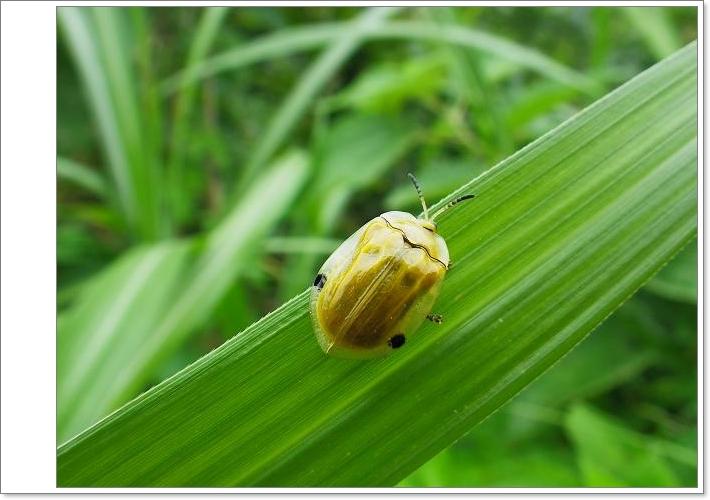 大黃龜金花蟲1