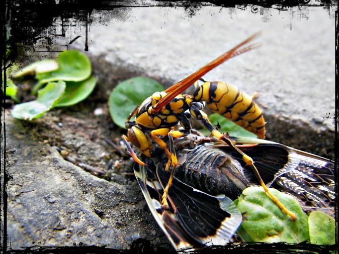 黃長腳蜂1