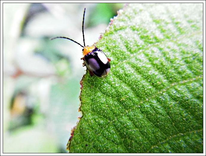 白緣溝腳葉蚤 Hemipyxis balyi Bates