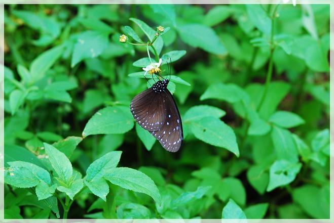 圓翅紫斑蝶2