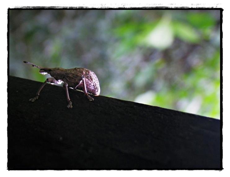 淡褐象鼻蟲