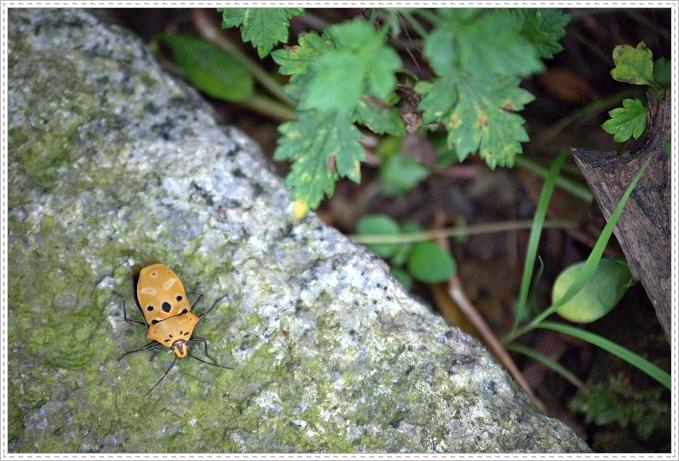 黃盾背椿象 Cantao ocellatus