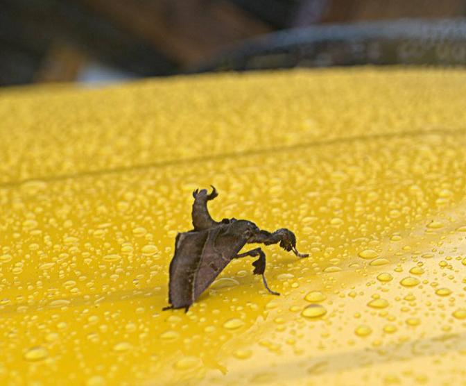 發現金瓜石:螟蛾 Datanoides fasciata