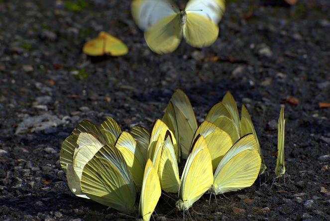 台灣紋白蝶 Pieris canidia (Sparrman, 1768)