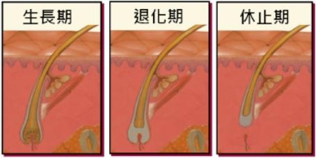 毛髮生長三階段圖